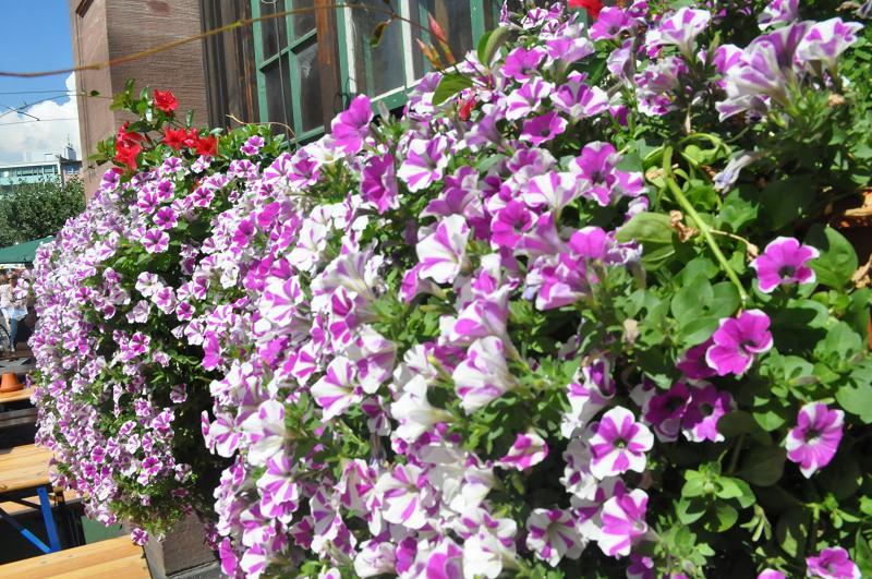 rực rỡ với sác tím của hoa Dạ yến thảo