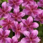 Những sắc hoa cho ban công rực rỡ