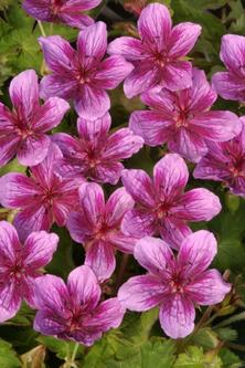 sắc tím lãng mạn của hoa phong lữ thảo